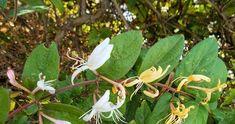 Το αγιόκλημα και οι χρήσεις του  Αγιόκλημα: Μία θεραπεία με γλυκό άρωμα που ηρεμεί φλεγμονές, μολύνσεις και μεταδοτικές ασθένειες.   Εάν έχε... Plant Leaves, Plants, Plant, Planets
