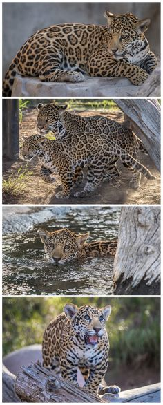Celebrating International Cat Day with Valerio & his mom Nindiri. Jaguars are are the largest cats in the Western Hemisphere & the 3rd largest overall. (pics by Bob Worthington)