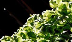 Green Blossom 2 (www.pointshogger.com)