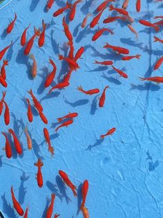 Poissons Rouges (by rixon@ymail.com)