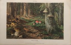 Original Antique Botanical Chromolithograph 1880s FUNGHI Mushrooms Fungi Toadstool Fly Agaric Magical Woods Vintage Victorian Print 1886 by Thepapermuseum