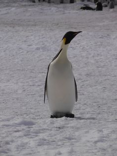 An Emperor penguin on Snow Hill Island. This island is almost entirely covered with snow. Ostriches, Emperor Penguin, Sea Birds, Wild Life, Marine Life, Underwater, Earth, Snow, Island