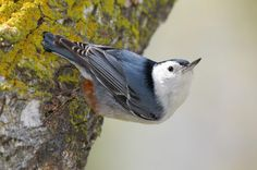 """Famous as the """"upside down bird,"""" the White-Breasted Nuthatch is equally adept at clambering up, down, or around the trunks and major limbs of trees."""