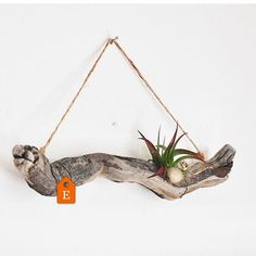 New to the #Etsy shop: Driftwood Air Plant Wall Hangings  Each wall hanging is made by wiring a living air plant and dried botanicals to a piece of driftwood gathered along the Northern California coast. It's beauty is its simplicity. Link in bio.