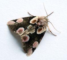 // peach blossom moth