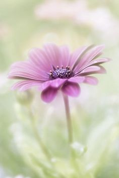 Cape daisy by Mandy Disher Florals* Amazing Flowers, My Flower, Purple Flowers, Flower Art, Beautiful Flowers, Purple Daisy, Lilac, Lavender, Nature Rose