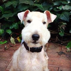 My Lakeland terrier Luke.