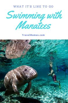 What It's Like to Go Swimming with Manatees. Learn how, where and when to swim with these gentle giants in Florida. This is an unforgettable family vacation experience - it will be on the top of the list of best things to do in Florida! Visit Florida, Florida Travel, Florida Beaches, Travel Usa, Florida Keys, Clearwater Beach Florida, Florida Springs, Sandy Beaches, Three Sisters Springs Florida