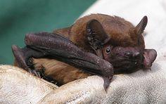 The UK's largest bat. Bat Species, Baby Bats, Photoshop Photos, Albino, Beautiful Cats, Foto E Video, Mammals, Pugs, French Bulldog