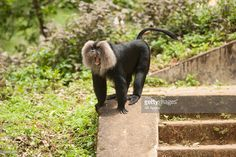 Photo : Lion-tailed Macaque on concrete steps