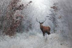 Un cerf en hiver - National Geographic