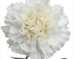 Delphy - Standard Carnation - Carnations - Flowers by category | Sierra Flower Finder