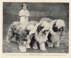 Old English Sheepdog Three Dogs And Little Girl Original Vintage Dog Print 1934