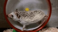 """This hedgehog that should have paid heed to """"slow and steady wins the race"""": 