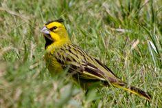 Cardealamarelo_Brazilian Birds