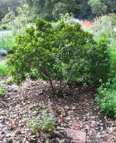 Plants for dry shade gardening in mediterranean climates - Master gardeners santa clara county ...