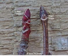 Closeup of red maple and sugar maple buds. Unlike buds of any other maple, sugar maple buds are narrow, pointed, brownish-purple, and have many scales.