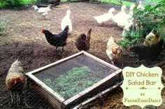 Fresh Eggs Daily®: DIY Chicken Salad Bar. Cute idea for the small run since all the grass has been dug up already. they'd love to have the clover planted in there.