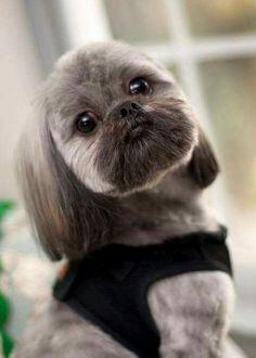 Cute Shih Tzu...what a face! #shihtzu