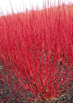 cornus alba sibirica - Will drop its leaes in autum and you have red stems. cut it back hard end of winter and it will sucker again with new stems