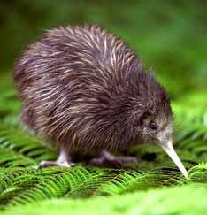 The kiwi is one of NZ's most famous and recocnisable icons. They are our a  native animal to New Zealand and something we as New Zealanders are very proud of as it cannot be found in any other country around the world!!!