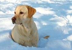 A beautiful Yellow #Lab enjoying the first #snow, thanks to a member from Labradors.com