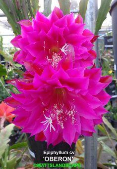 Epiphyllum 'Oberon'