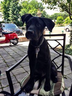 Labradane puppy Duke 4 months old, Black lab great dane mix