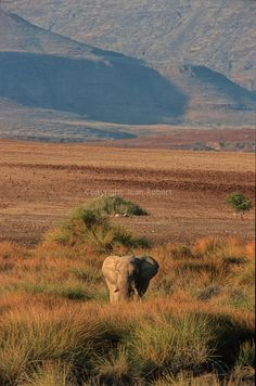 elephant nearby Khumid river.Namibia; Africa