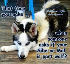 That face you make... when someone asks if your Sibe (Siberian Husky) or Mal (Malamute) is part wolf? | 6fb88ec2b0ed8e89e6a5123417300c6c.jpg 432×395 pixels