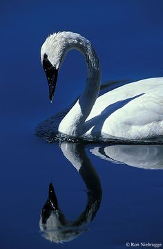 .~Trumpeter Swan, Madison River, Yellowstone National Park~. @adeleburgess