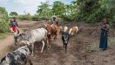 Der grösste Feind im Kampf gegen die Bodendegradierung ist frei weidendes Vieh. Für die Bauern bedeutete das einen Bruch mit der Tradition. (Bild: Thomas Imo / Photothek) Animals, Culture Shock, Farmers, Agriculture, Photo Illustration, Animales, Animaux, Animal Memes, Animal