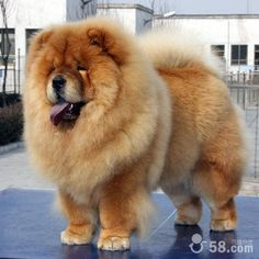 The Chow-Chow~