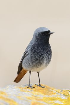 https://flic.kr/p/qSDU2r | Black Redstart | An amazing little bird and he comes so close. Brean Down Somerset