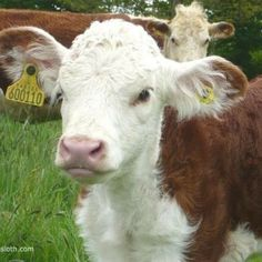 Cute Cow Pictures