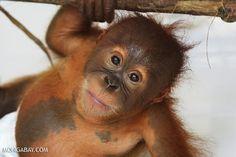 Baby orangutan in a diaper at a rehabilitation center in Sumatra Read more at http://news.mongabay.com/2014/0819-orangutan-photos-world-orangutan-day.html#Vg4XgZ67k6UH3rCZ.99