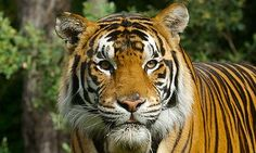 good Bengal tiger pictures | Kato the bengal tiger which has now been responsible for two attacks ...