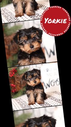Morkie Puppies For Sale, Yorkie Puppy, Cute Puppies, Mini Dogs Breeds, Dog Breeds, Animal Pics, Funny Animal Pictures, Cute Funny Animals, Cute Baby Animals