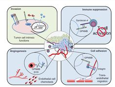 Figure 2 Potential mechanisms through which GPNMB promotes malignant cellular phenotypes within cancer cells.