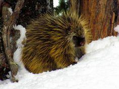 Mount Rainier National Park Animals | 1000+ images about Mt. Rainier Wildlife on Pinterest