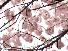 Kirsikankukkia Tokiossa | Cherry blossom, Tokyo, Japan, sakura, OOTD - Pupulandia | Lily.fi