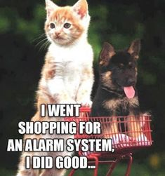 Too cute. Kitten and German Shepherd Puppy. LOL..... from Beautiful gifts on Pinterest.