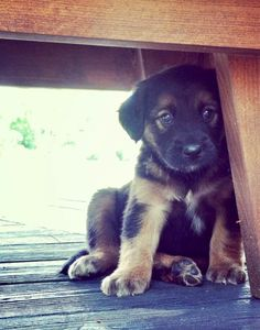 German Shepherd Pup #germanshepherd