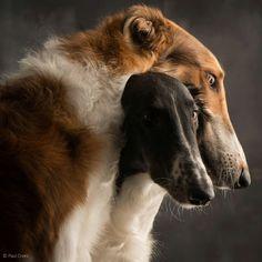 borzoi and greyhound