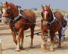 The Suffolk Punch Is A British Breed Of Draft Horse, Which Is Always Chestnut In Colour