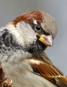 Sparrows are weaver finch birds. There are several species of sparrow, some of which are associated with living nearby settlements of people, such as cities, suburbs, and farms. Small Birds, Little Birds, Colorful Birds, Pretty Birds, Beautiful Birds, Animals Beautiful, Beautiful Creatures, Sparrow Bird, House Sparrow