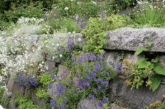 Kivikkokasvit. Harmaaseen graniittimuuriin sopivat hopeahärkki (Cerastium tomentosum) ja päivänkakkara (Leucanthemum vulgare).Talvimärkyydestä kärsivä loistosalviakin (Salviaxsylvestris) viihtyy kuivassa muurissa. Garden Cottage, Flower Wall, Amazing Gardens, Stepping Stones, Park, Outdoor Decor, Flowers, Nature, Plants