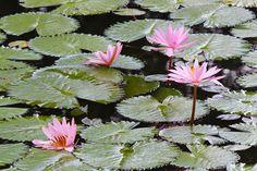 12/5(月)バリ島ウブドのお天気は雨。室内温度26.6℃、湿度86%。毎日雨~!!喜んでいるのは、水浴びするアヒルや蛙ちゃんだけ??ハスの花も雨を浴び、美しさが増しています。