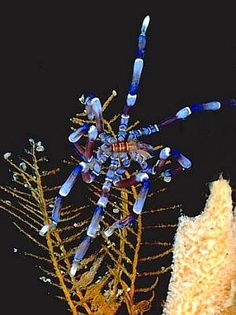 A sea spider (Pycnogonida Phoxichilidiidae: Anoplodactylus evansi) near New South Wales. Photo: Bill Rudman