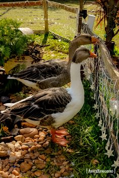 Geese posing for photo.